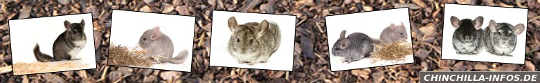 Chinchilla-Infos.de